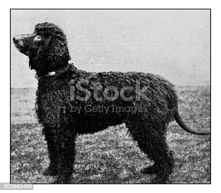 Antique dotprinted photograph of dog: Irish water spaniel