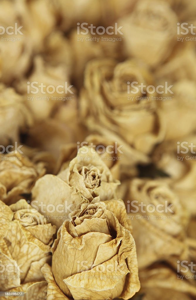 Antique Dried Roses royalty-free stock photo