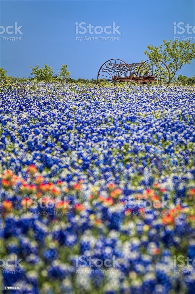 Antique farm equipment in a field of bluebonnets royalty-free stock photo