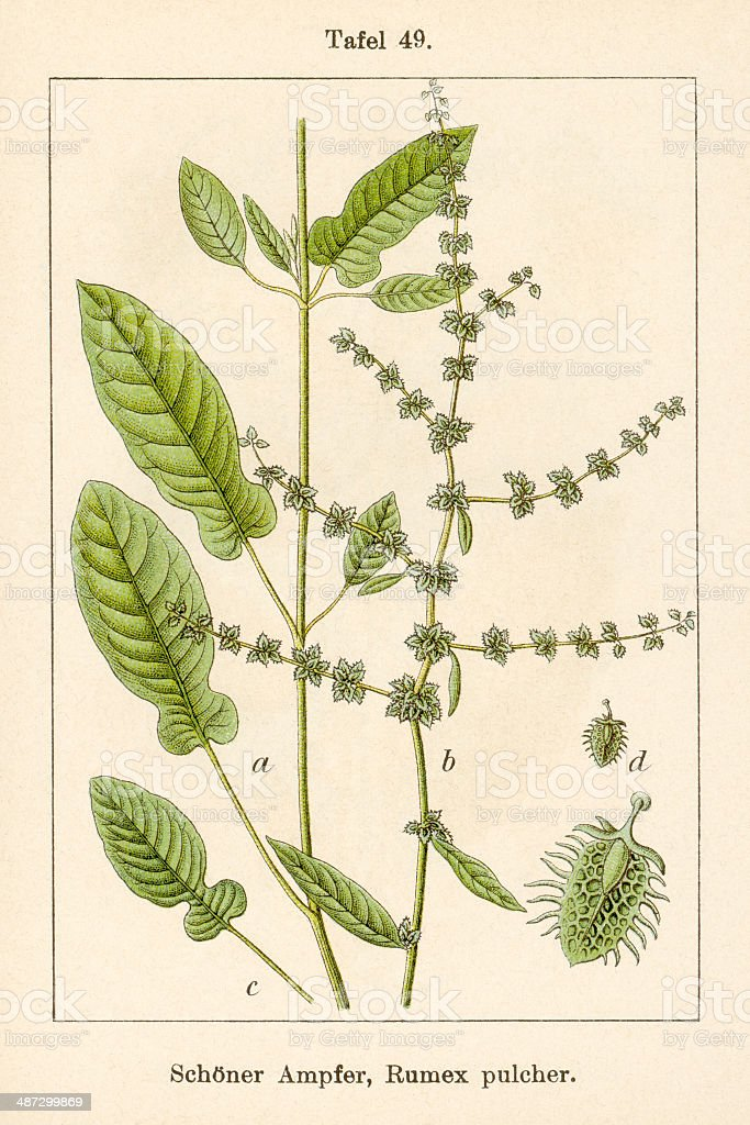 Antique Flower Illustration: Fiddle Dock (Rumex pulcher) stock photo