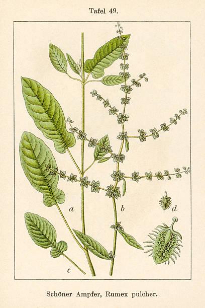 ancienne illustration de fleurs: violon dock (rumex pulcher) - botanique photos et images de collection