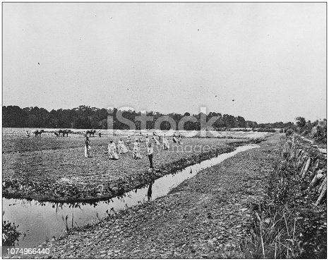 Antique historical photographs from the US Navy and Army: Rice cultivation, Philippines