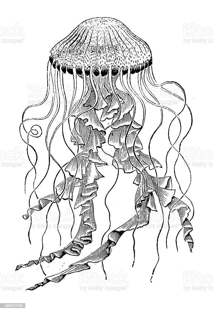 Antique illustration of jellyfish (Chrysaora) stock photo