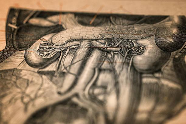 antique medical book: kidneys - anatomie buch stock-fotos und bilder