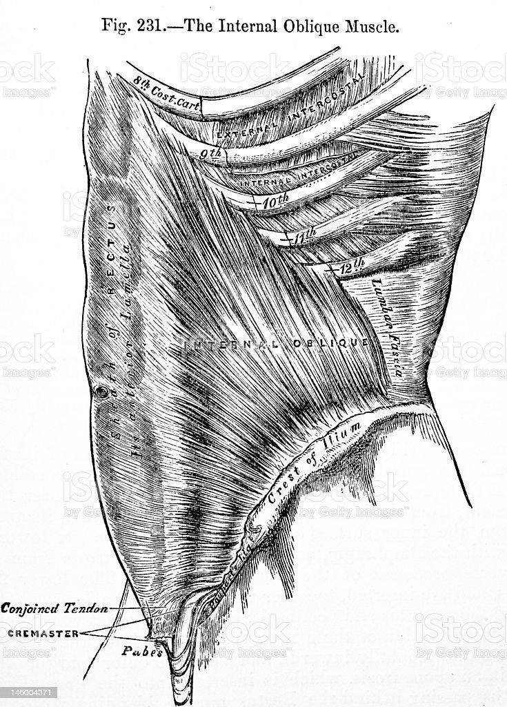 Antique Medical Illustration | Abdomen royalty-free stock photo