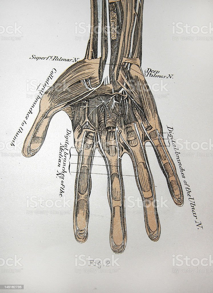 Antique Medical Illustration | Hand, Muscles & Tissue stock photo