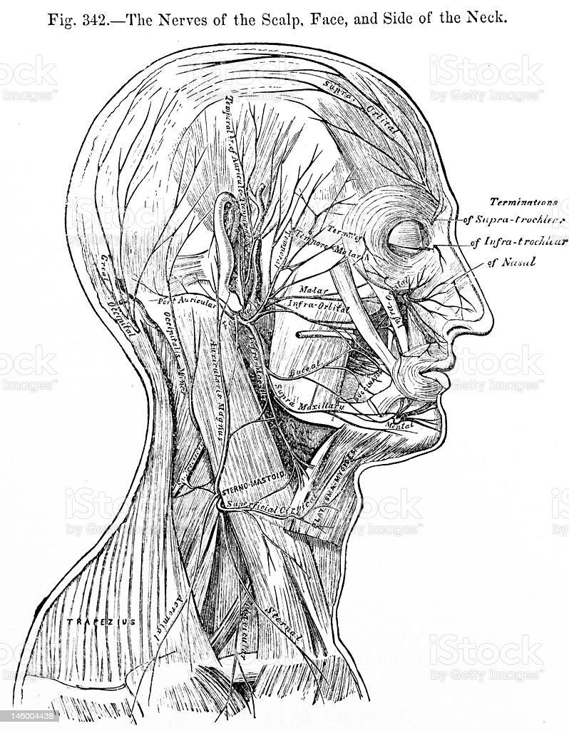 Antikes Medizinische Illustrationhead Muskeln Stock-Fotografie und ...