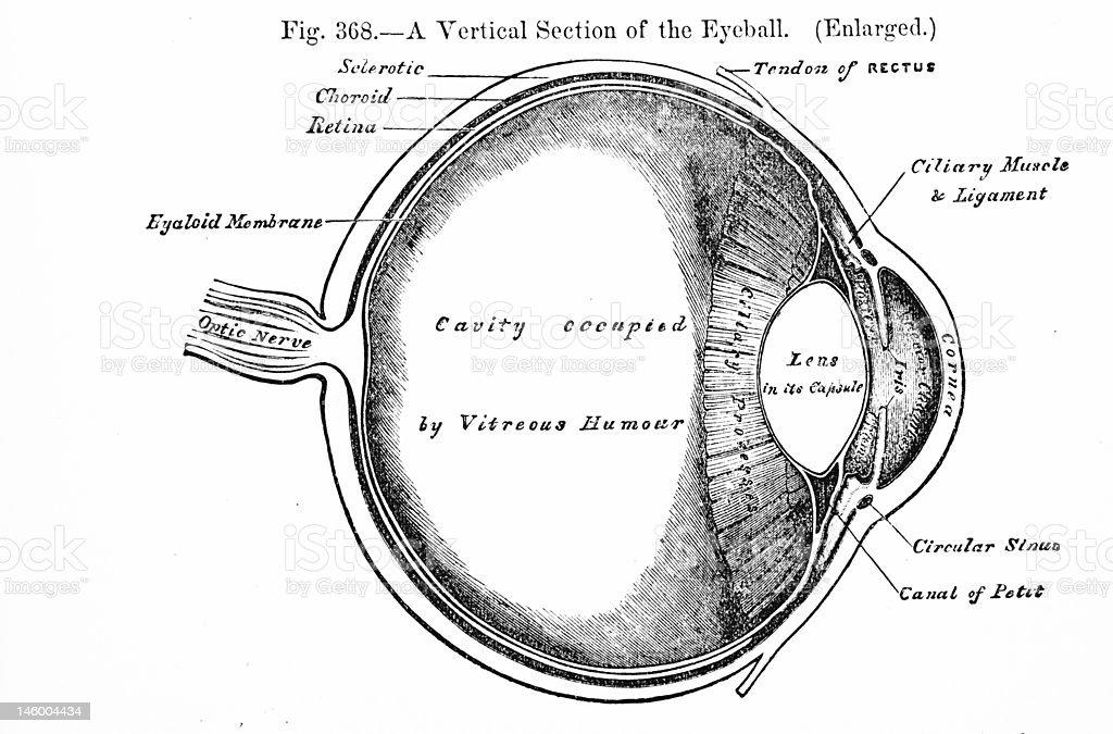 Antique Medical Illustration   Human eyeball stock photo