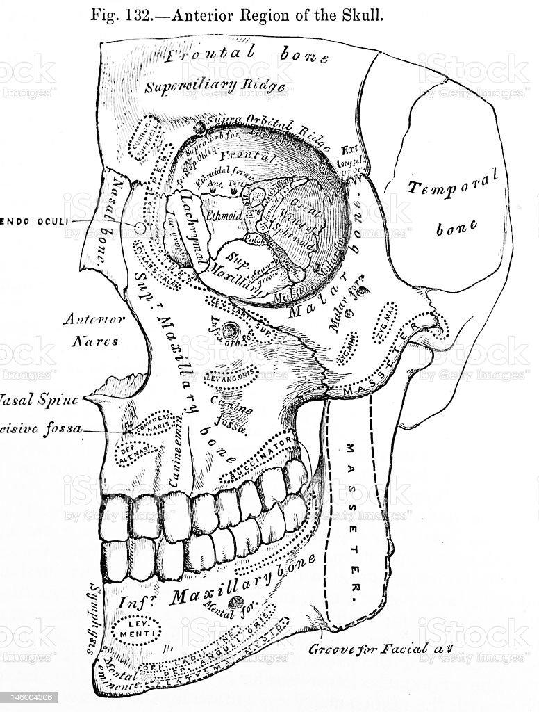Antique Medical Illustration | Human face stock photo