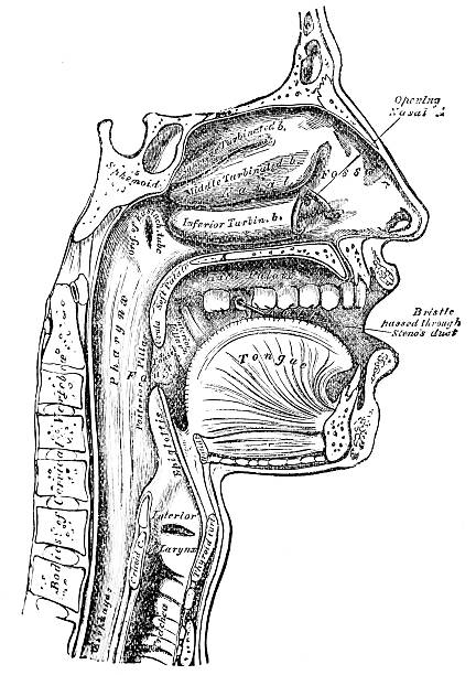 antique medical illustration | human face - medical diagrams stock pictures, royalty-free photos & images