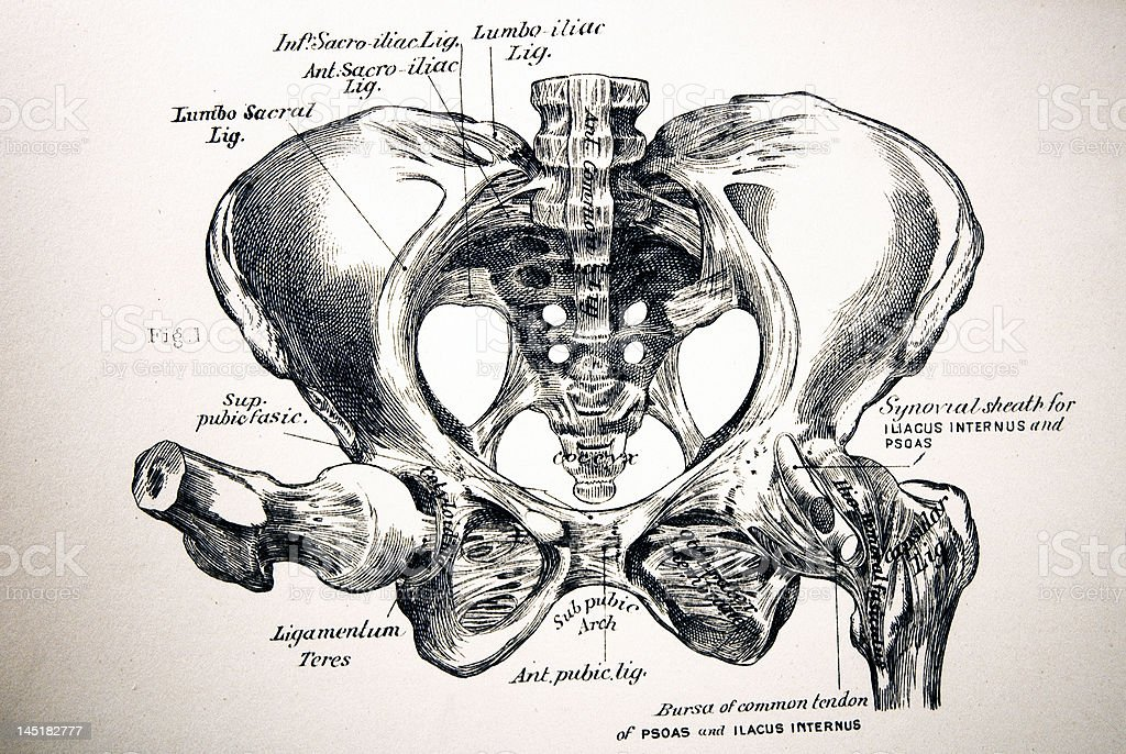 Antique Medical Illustration | Human pelvis royalty-free stock photo
