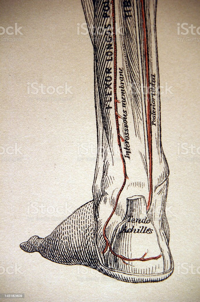 Antique Medical Illustration | Lower leg muscles stock photo