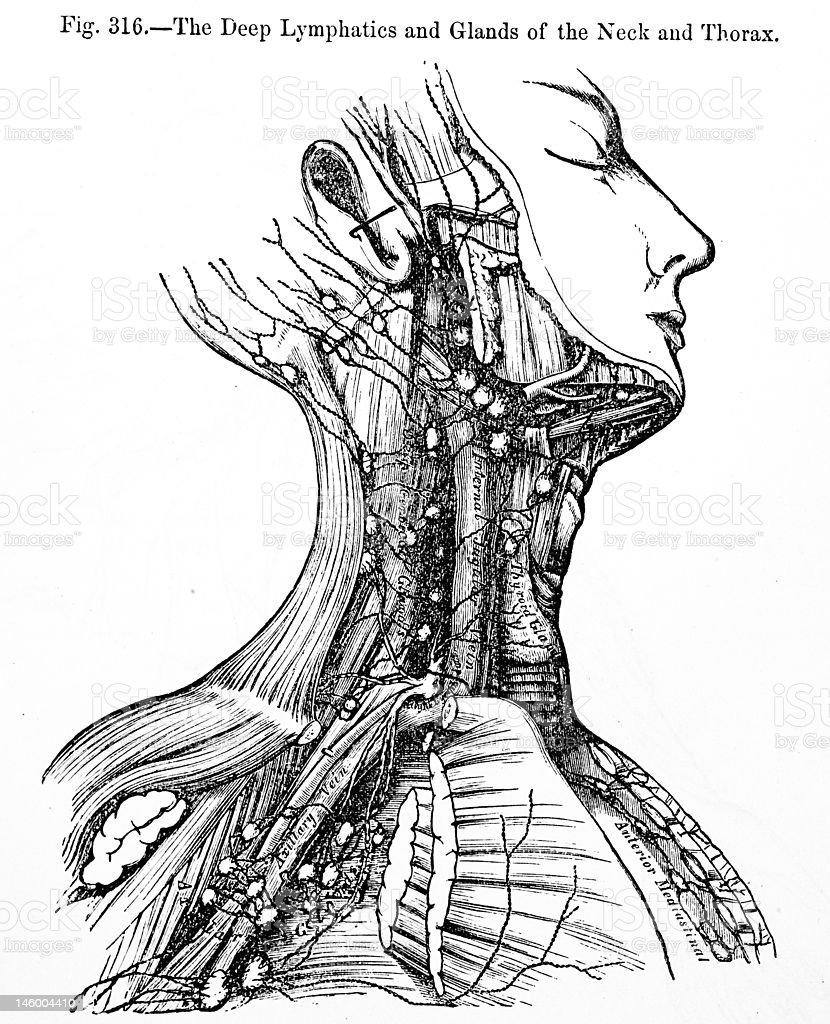 Antique Medical Illustration Neck Glands Stock Photo More Pictures