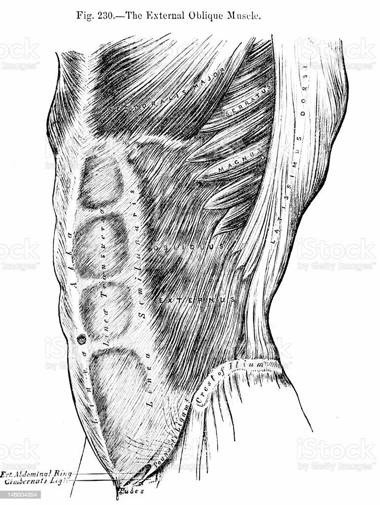 Antique Medical Illustrations | Abdomen royalty-free stock photo