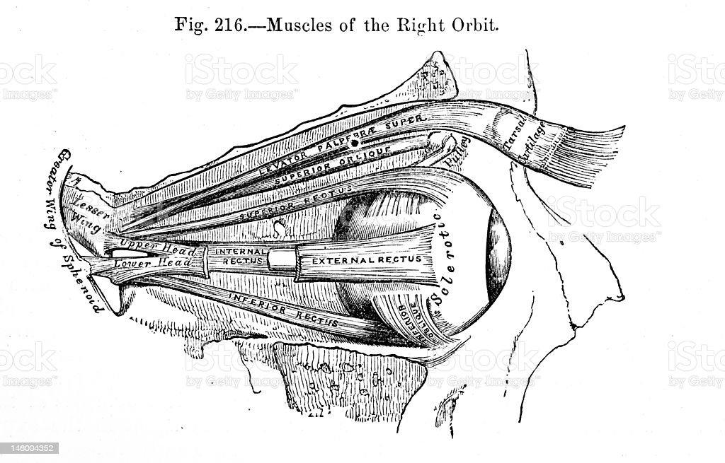 Antique Medical Illustrations | Eye socket stock photo
