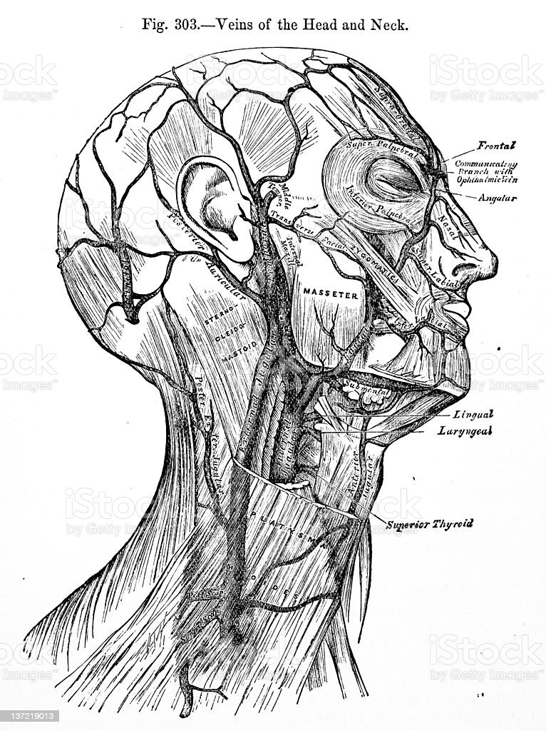 Antique Medical Illustrations | Head veins royalty-free stock photo
