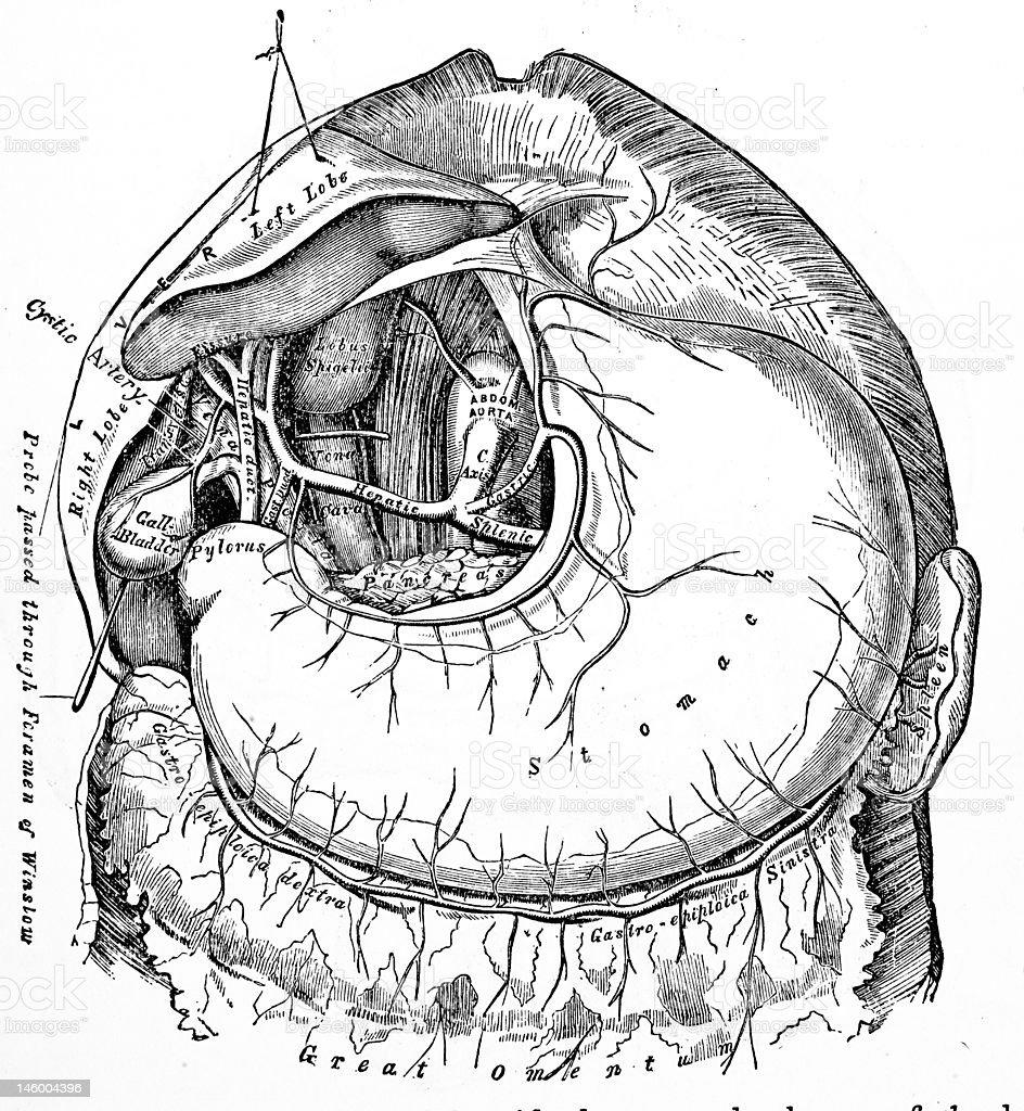 Antique Medical Illustrations | Human Abdomen royalty-free stock photo