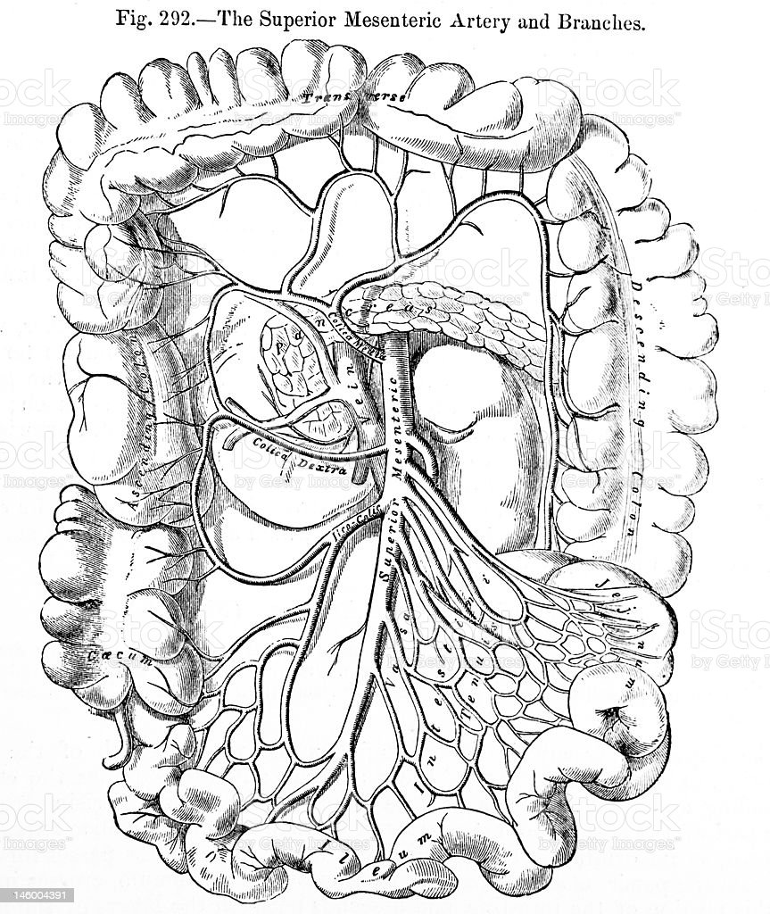 Antique Medical Illustrations Superior Mesenteric Artery Stock Photo