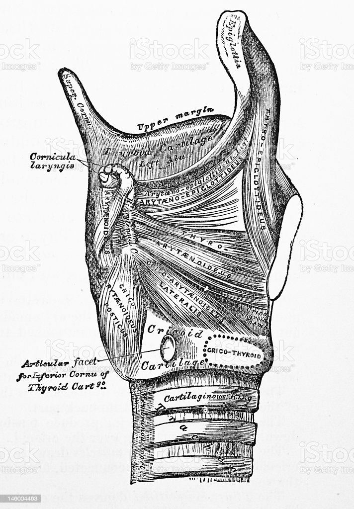 Antique Medical Illustrations | Thyroid gland royalty-free stock photo