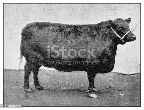 Antique photo: Aberdeen Angus