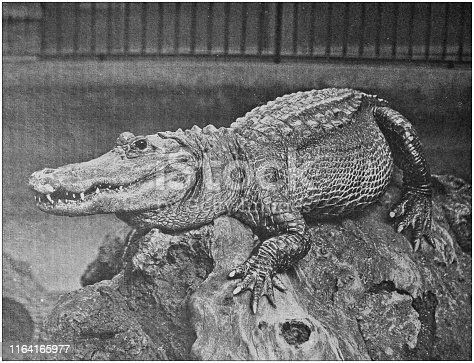 Antique photo: Alligator