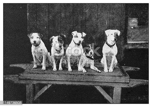 Antique photo: Dogs