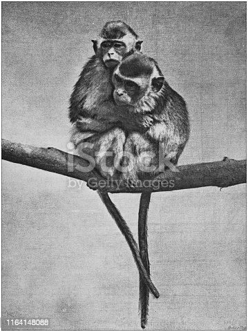 Antique photo: Hugging monkeys