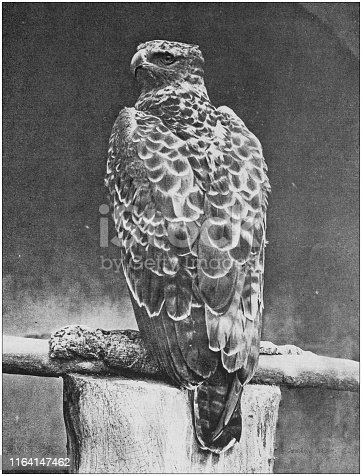 Antique photo: Martial Hawk Eagle