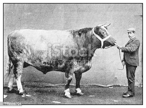 Antique photo: Shorthorn Steer