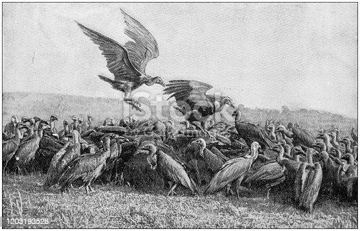 Antique photo: Vultures