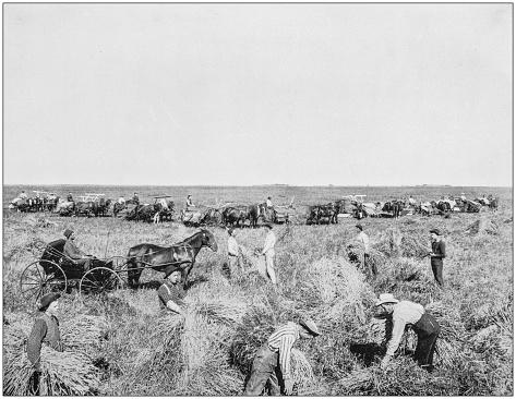 Antique photograph of America's famous landscapes: Harvesting in Dakota