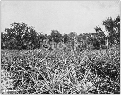 Antique photograph of America's famous landscapes: Pineapple Grove, Indian River, Florida