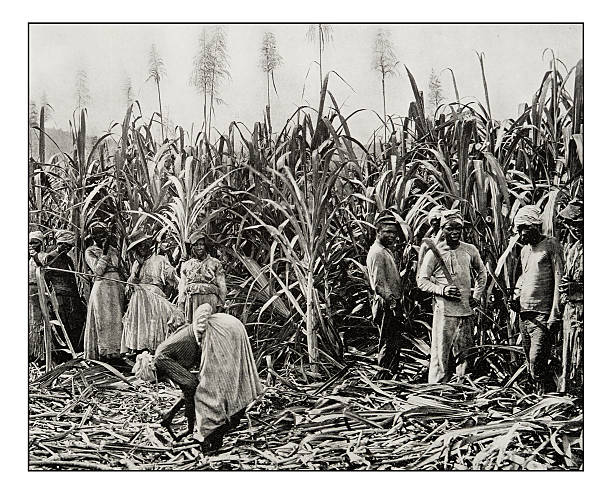 Antique photograph of Cane cutters in Jamaica Antique photograph of Cane cutters in Jamaica sugar cane stock pictures, royalty-free photos & images