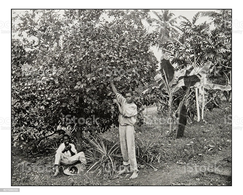 Antique photograph of Orange Picking in Jamaica stock photo
