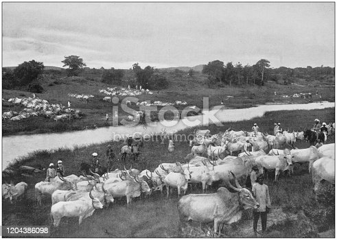 Antique photograph of the British Empire: Beef for the British Army in Mysore