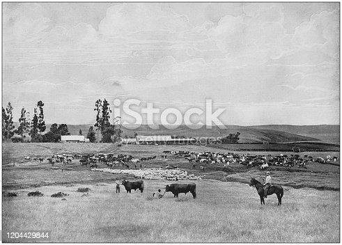 Antique photograph of the British Empire: Stock farm in Natal