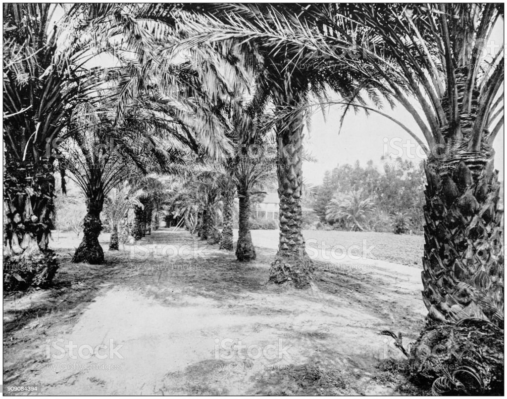 Antique photograph of World's famous sites: Palms of Glenannie, Florida stock photo