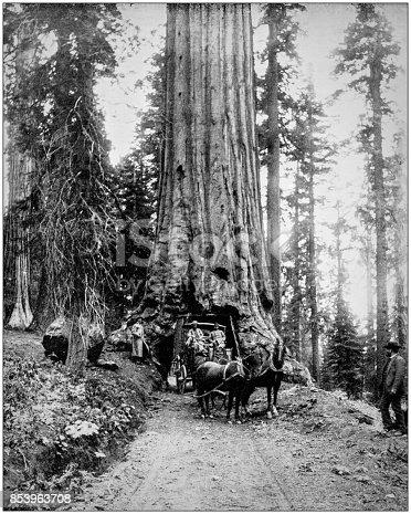 Antique photograph of World's famous sites: Wawona Big Tree, Mariposa Grove, California, US