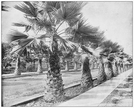 Antique photograph: Palm Avenue, Los Angeles, California