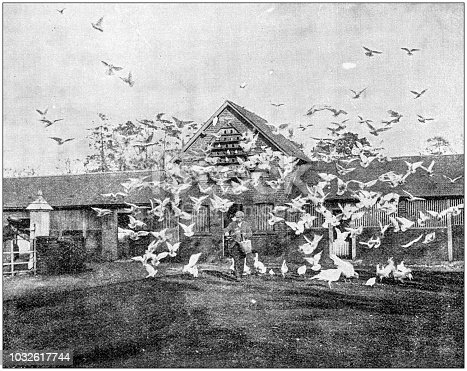 Antique photograph: White pigeon, fowls and turkeys