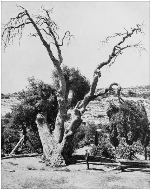 Antique photographs of Holy Land, Egypt and Middle East: The oak of Mamre, or Abraham's oak stock photo
