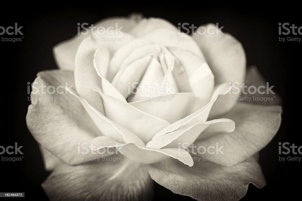 Antique Rose stock photo