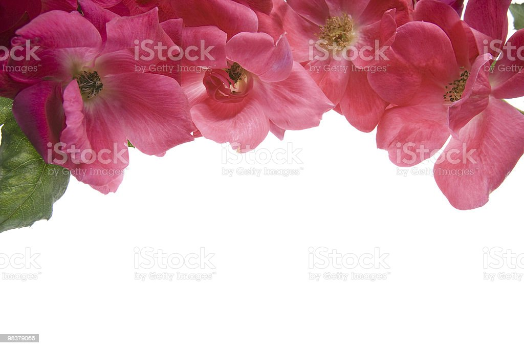 Antique Tea Roses isolated on white background royalty-free stock photo