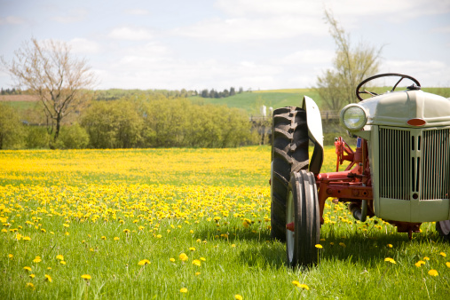 Old farm tractor in a field of Dandy Lions.