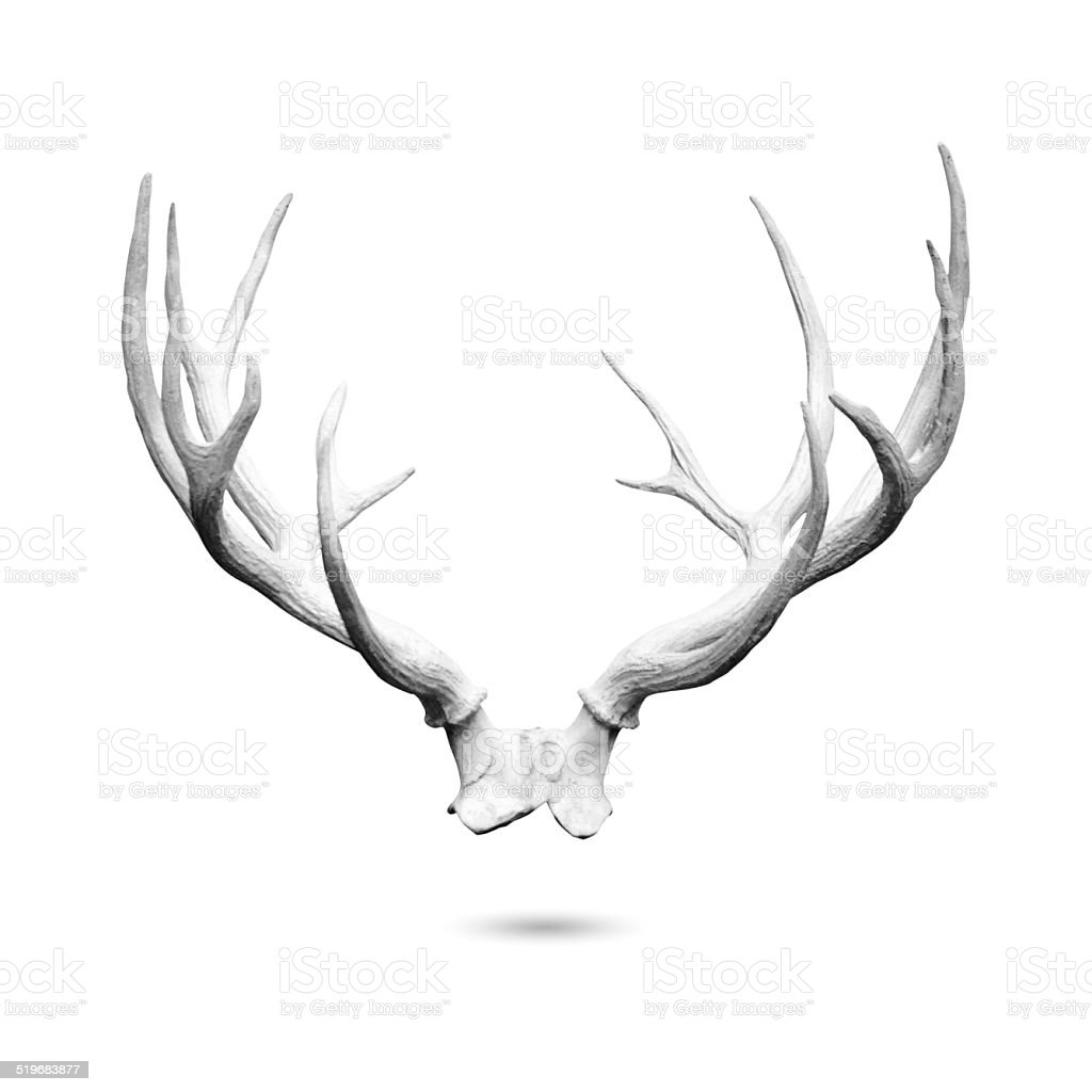 Antler isolated stock photo
