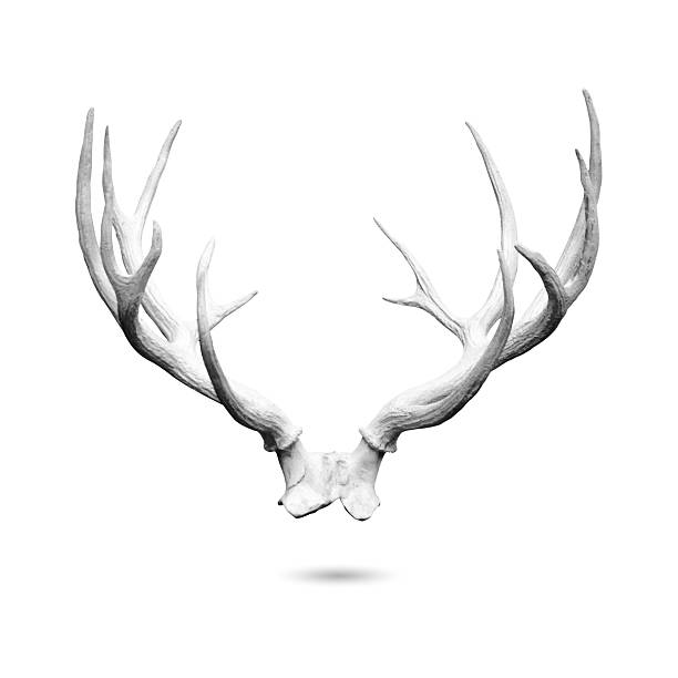 antler isolated - antlers stock photos and pictures