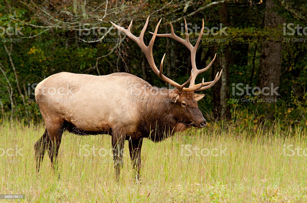 Antlered Elk standing in a field of grass. stock photo