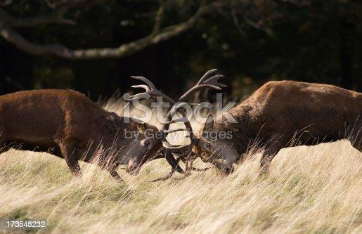 465666157 istock photo Antlers clashing 173548232