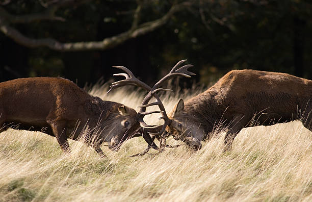 Antlers clashing Two Red deer stags clashing antlers during the rut. red deer animal stock pictures, royalty-free photos & images
