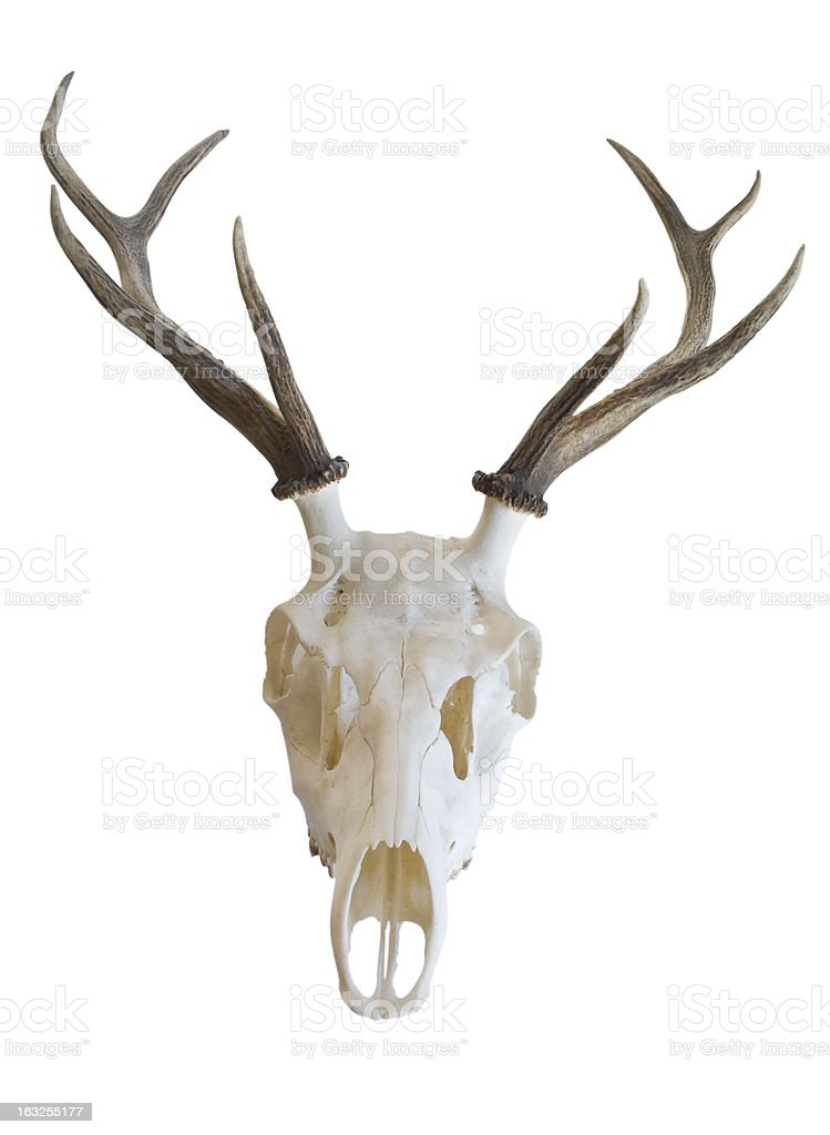 antlers of a deer, skull with horns on white background stock photo